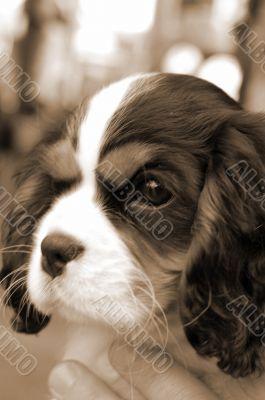 Pet Dog Closeup sepia