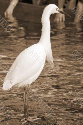 White Crane Bird sepia