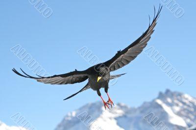 Flying Daw