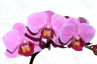 Violet Phalaenopsis Orchid
