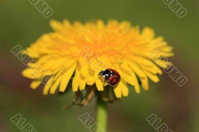 Ladybug on a Yellow Flower