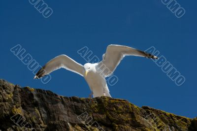 Seagull on a cliff