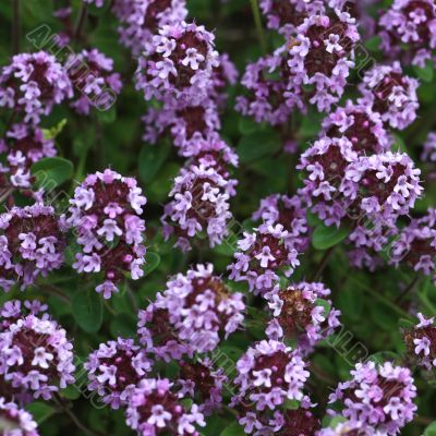 Thyme in blossom