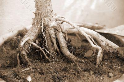 Bonsai Plant roots sepia