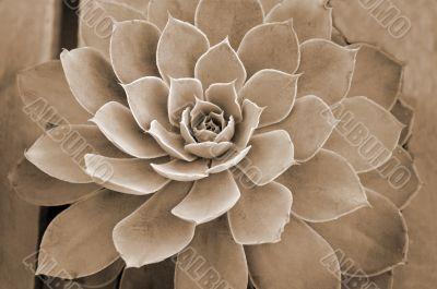 Succulent plant sepia