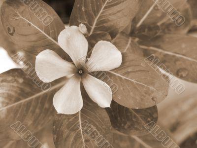 Magenta Flower sepia