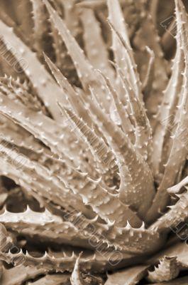Spiny Aloe Plant sepia