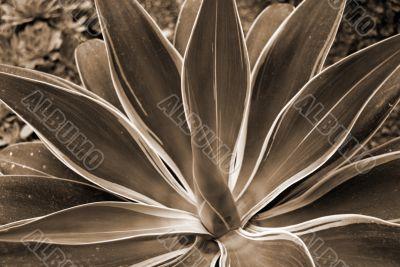 Aloe Succulent sepia