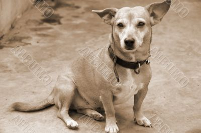 Pet Dog Candid sepia