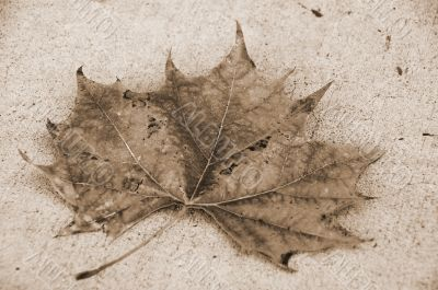 Canada Maple Leaf Fall Season sepia