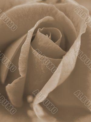 Pink Rose Closeup sepia