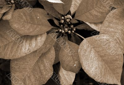Poinsettia Red Flowers on Christmas sepia
