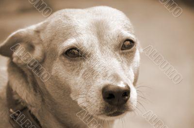 Dog Face Closeup sepia