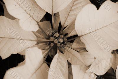 Poinsettia White Flowers on Christmas sepia