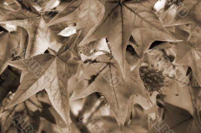 Maple Leaf Fall Closeup sepia