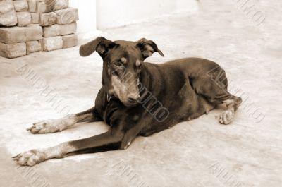 Doberman Pinscher Dog sepia