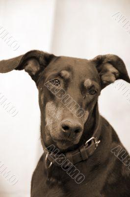 Doberman Dog Closeup sepia