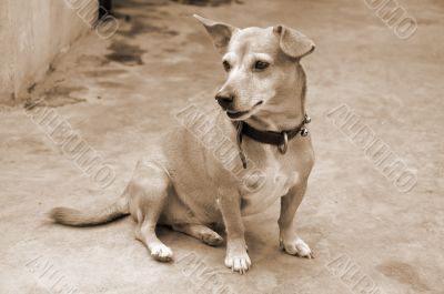 Watchful Pet Dog sepia