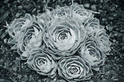 Green succulent flower - Sempervivum