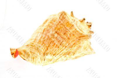 big sea shell