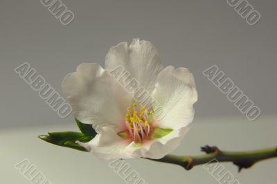 Almond Blossom (DSC_0159)