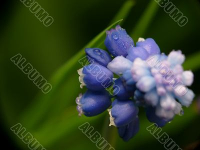 Macro of Hyacinth muscari flower, sign of spring
