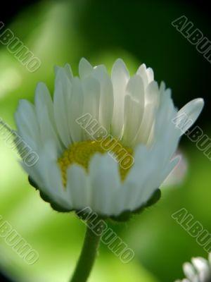 beatiful daisy macro