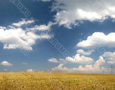 Wheat field in late summer