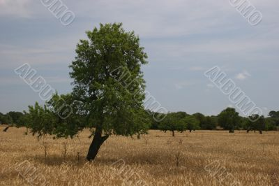 Wheat field with tree