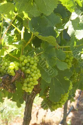Ripening grapes in the vineyard
