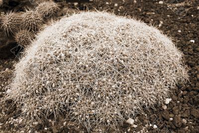 Cactus mammilaria compressa sepia