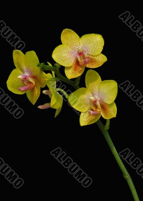 Pink Moth Orchid flower