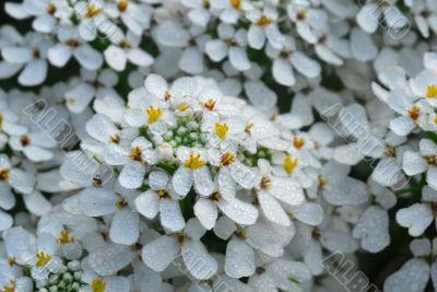 white iberis sempervirens flower