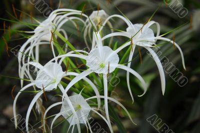 White crinum spiderlily Flower
