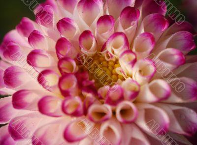 pink pompom dahila flower