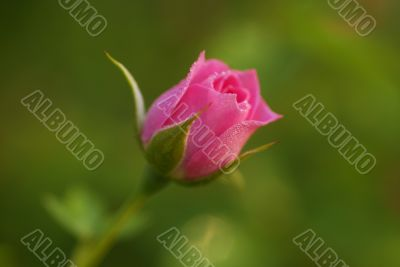Rose Flower bud
