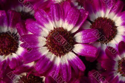 pink cineraria flower
