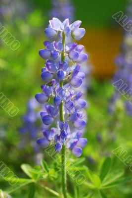 Blue Lupin Flower