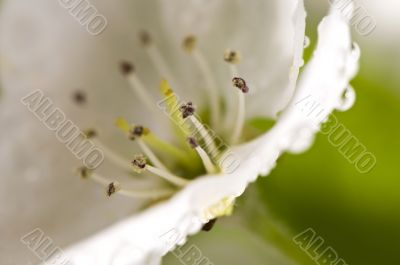 Beautiful blossoms close-up with dew drops