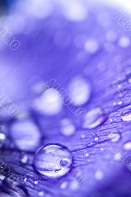 purple anemone flower with water drops