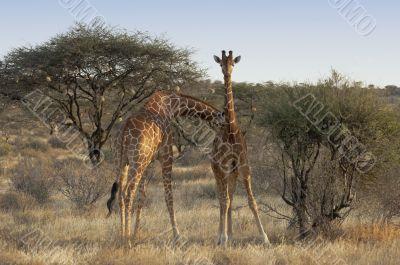 Somali Giraffes
