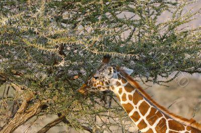 Somali Giraffes portrait
