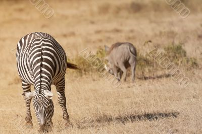 Zebra grazing in african savannah