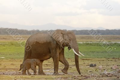 African elephant and her calf