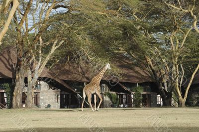 Giraffe walk in front of bungalows