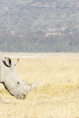 Rhino htad