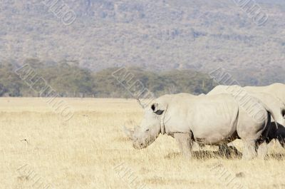 Group of Southern White Rhinos
