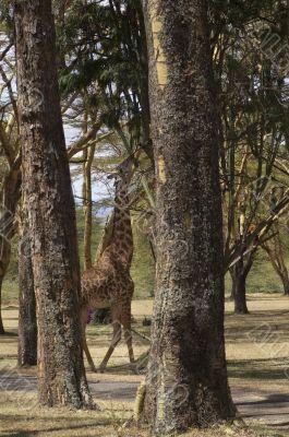 Masai Giraffe feeding