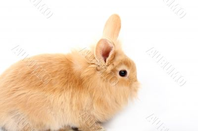 young red rabbit