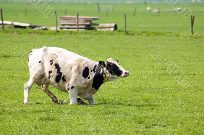 cow is standing up in a fresh meadow